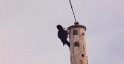 Høyt i toppen av ei mast i Dunderlandsdalen – en svartspett som hamrer løs